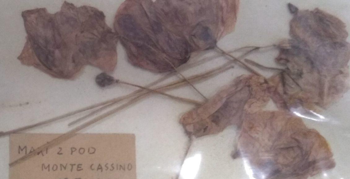 Maki z Monte Cassino